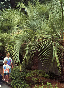 palm-butia-1.jpg