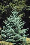 White Fir - Form