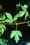 Leaves of Paperbark Maple
