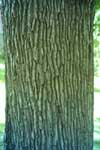 Bark of a Norway Maple