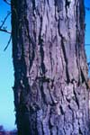 Bark of Silver Maple