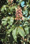 The leaves of ruby horsechestnut