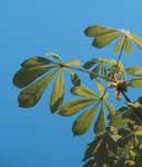 The leaves of horsechestnut