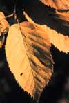Leaf of yellow birch