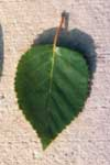 Leaf of Jacquemonti birch