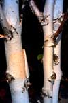 A birch tree's characteristic white bark.