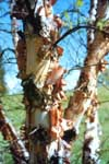 Bark of River Birch