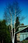 Paper birch in winter