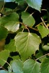 Leaf of European white birch
