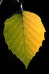 Close up of a birch tree leaf.