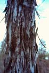 The distinctive bark of a shagbark hickory