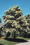 A northern catalpa