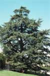 Atlas Cedar - Form