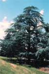 Blue Atlas Cedar - Form