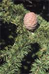 Atlas Cedar - Leaf