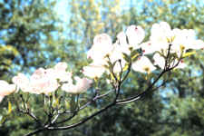 Flowers of a flowering dogwood