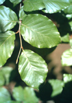 Leaves of European beech