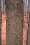 Bark of white ash