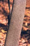 Bark of green ash