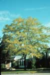 A honey locust