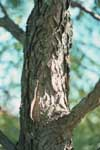 Kentucky Coffee Tree - Bark