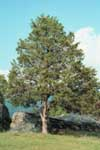 Eastern Red Cedar - Form