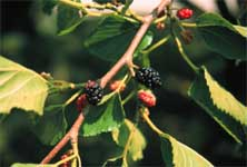 Red Mulberry - Leaf and Fruit