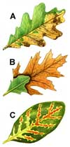 Oak wilt symptoms on the leaf of a white oak, northern red oak and Texas live oak.