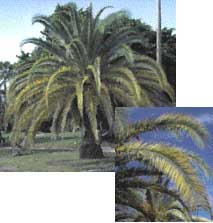 Magnesium Deficiency in a Palm Tree