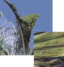 Manganese Deficiency in a Palm Tree