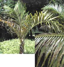 Symptoms of Potassium Deficiency in a Palm Tree