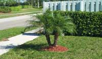 Newly Planted Palm