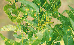 Damage to foliage by pecan phylloxera