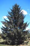 A Norway spruce