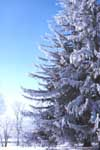 A Norway spruce in winter
