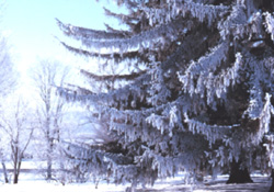 Picea abies in winter - G. Lumis