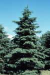 A white spruce