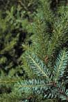 Needles of a Serbian spruce