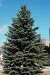 A Colorado spruce in an urban setting