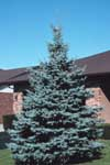 A Colorado blue spruce in an urban setting