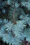Needles of a Colorado blue spruce