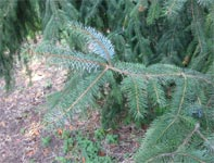 Sitka Spruce: Picea sitchensis