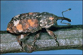 Adult white pine weevil