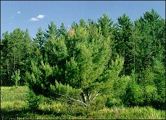 "A ""bushy"" open-grown white pine, showing the effect of numerous attacks by the white pine weevil"