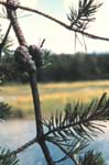 Needles of Jack Pine