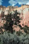 Pinyon in a canyon