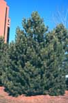 Austrian, or Black Pine