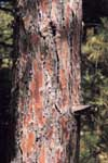Bark of an Red Pine