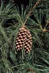 Cone of western white pine