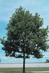 Form of London Planetree